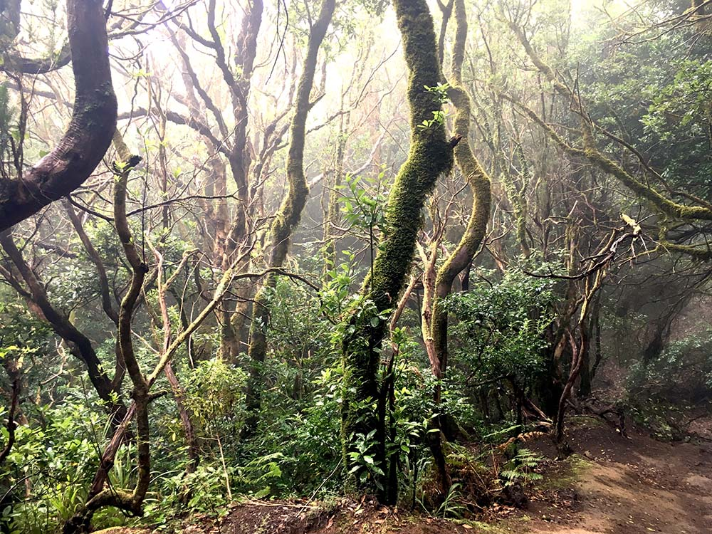 Nebelwald Anaga Gebirge Canary Vibes