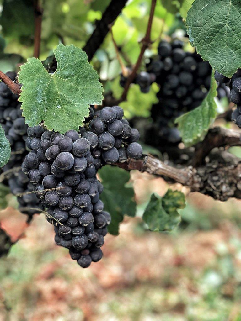 Weintraube Teneriffa