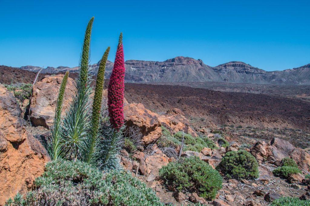 Tajinaste auf den Teide. Klima und beste Reisezeit für Teneriffa.