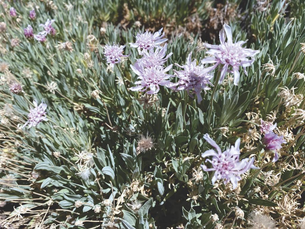 Blumen Teide Nationalpark