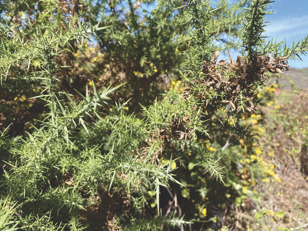 Pflanze in Los Silos auf Teneriffa