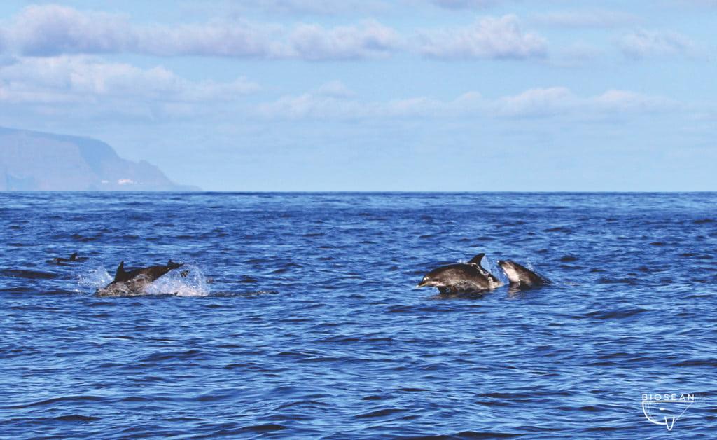 Delfine in Freiheit vor Teneriffas Küste