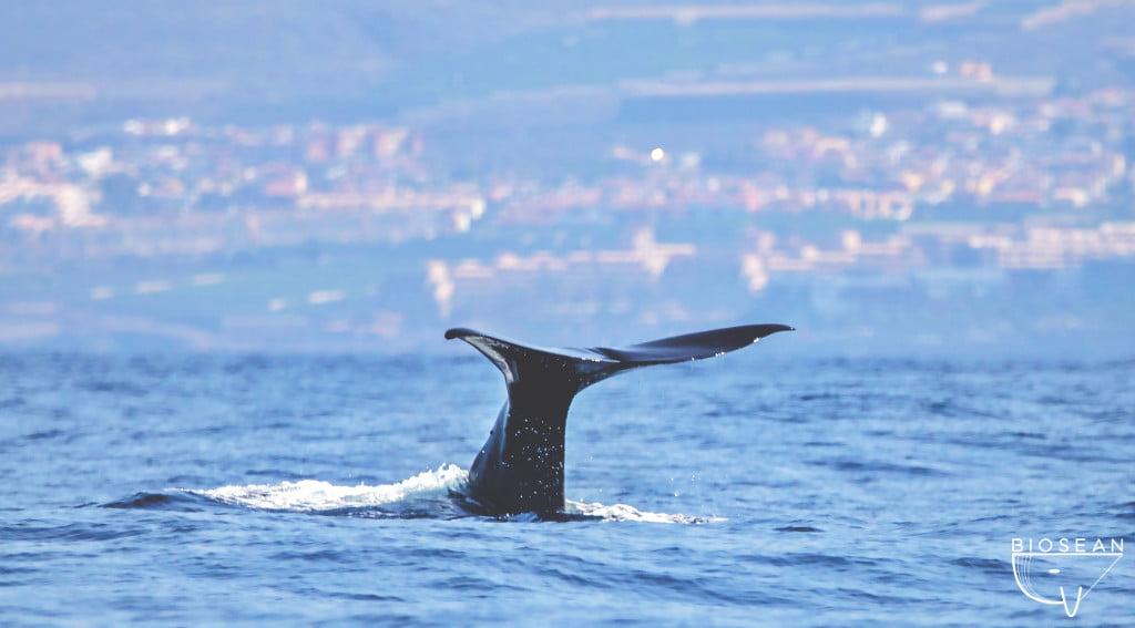 Walflosse beim Whale Watching auf Teneriffa