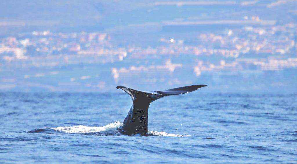 Whale Watching auf Teneriffa - Nachhaltige Walbeobachtung mit Biosean