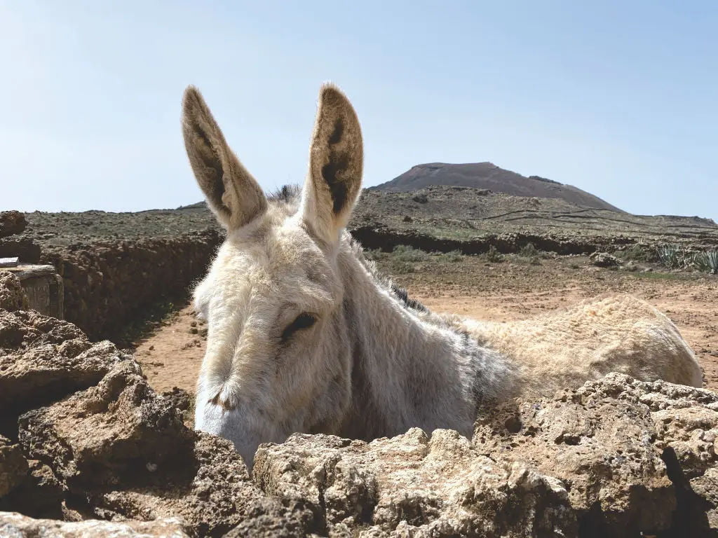 Esel auf Fuerteventura