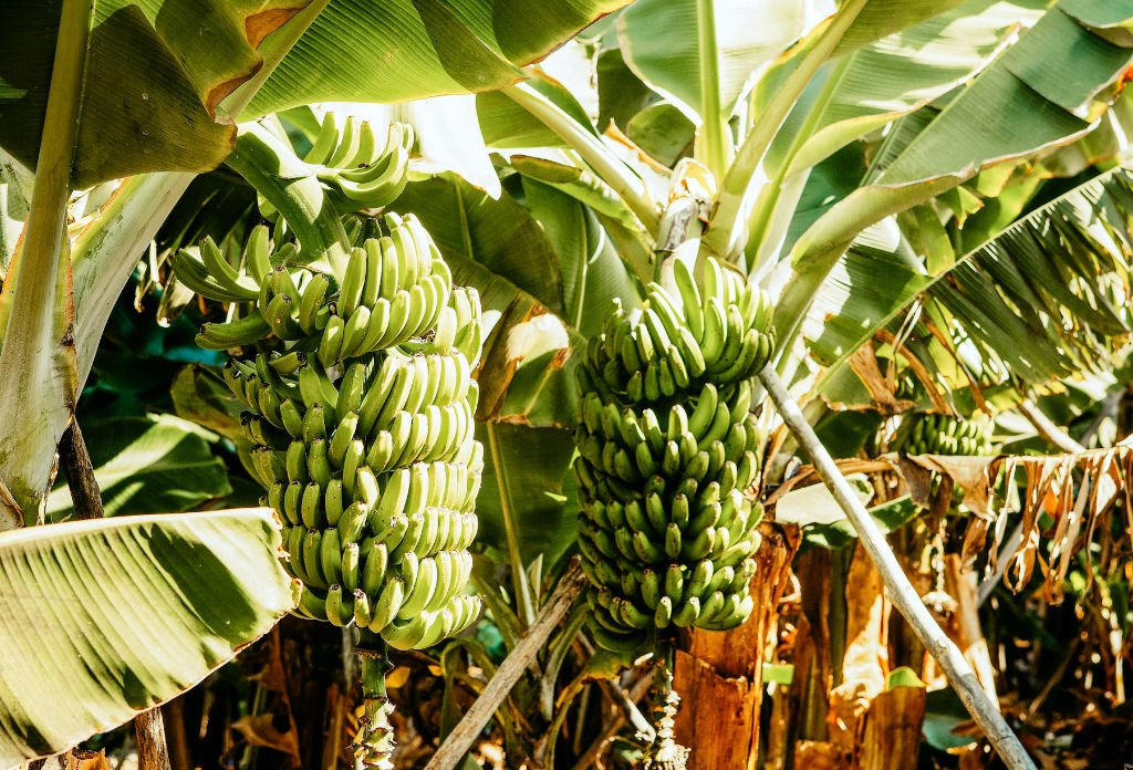Kanarische Banane