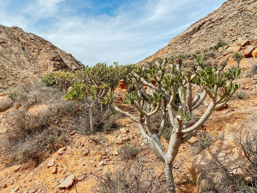 Endemische Pflanze in Betancuria auf Fuerteventura