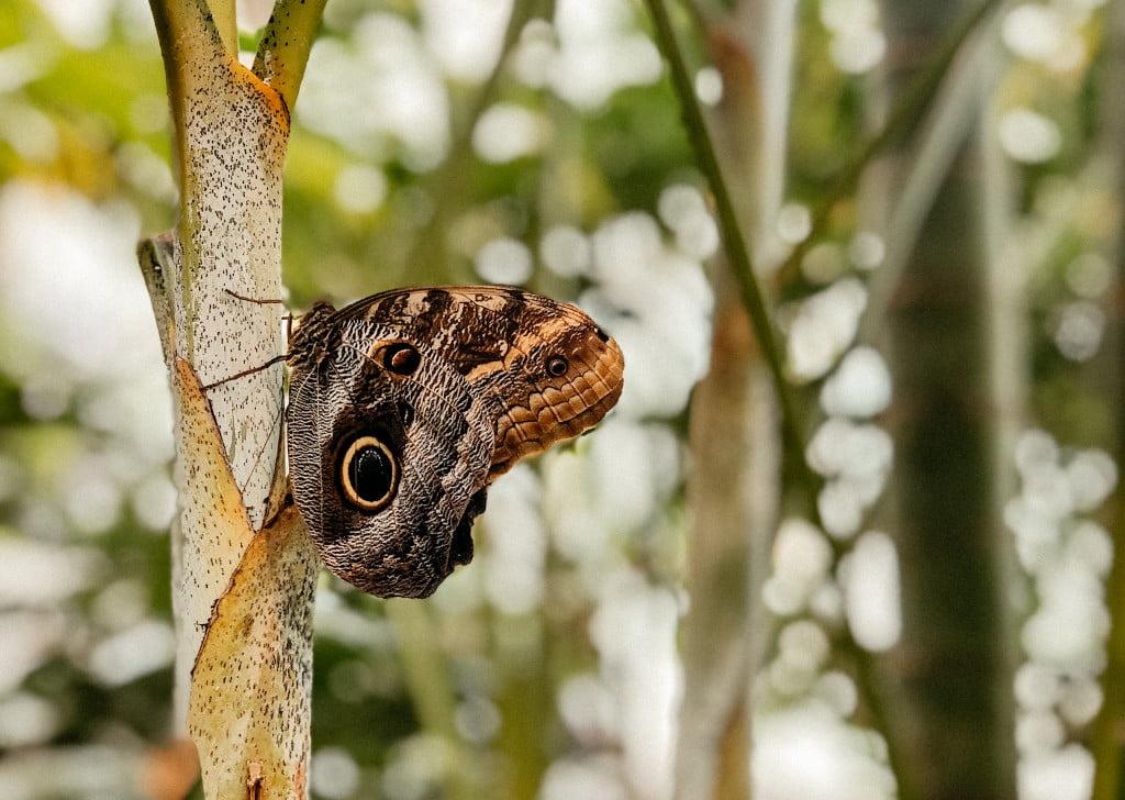 Schmetterling in Icod de los Vinos