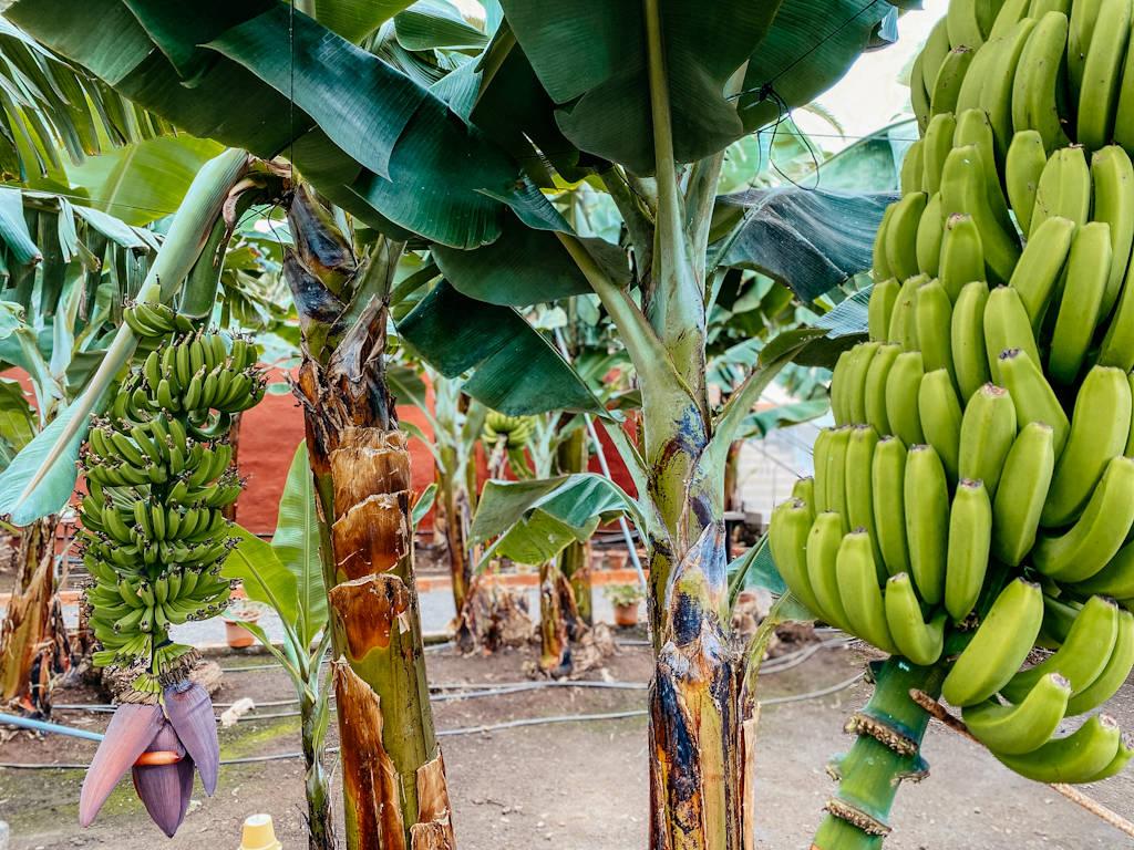 Bananenplantage auf Teneriffa